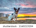 french bulldog sitting at the...   Shutterstock . vector #1160215204