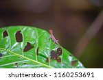 lizard in costa rica tortuguero ... | Shutterstock . vector #1160253691