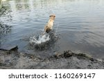 A Large Dog Jumps Into The...