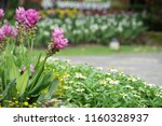field of siam tulips or dok... | Shutterstock . vector #1160328937