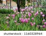 field of siam tulips or dok... | Shutterstock . vector #1160328964