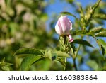 growing pink wildrose bud on a... | Shutterstock . vector #1160383864