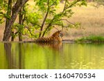 the bengal tiger  panthera... | Shutterstock . vector #1160470534