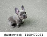 gray puppy of a french bulldog... | Shutterstock . vector #1160472031
