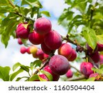 Juicy Plum On A Young Tree ...