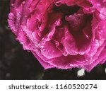 flower of a rose  with drops of ... | Shutterstock . vector #1160520274