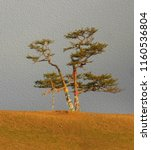 lonely shamanic pine with... | Shutterstock . vector #1160536804