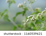 billygoat weed or ageratum... | Shutterstock . vector #1160539621
