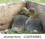 small cute geese | Shutterstock . vector #1160540881
