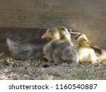 small cute geese | Shutterstock . vector #1160540887