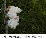 chicken in garden | Shutterstock . vector #1160543044