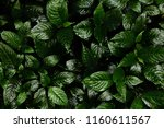 Small photo of Green leaves background. Green leaves color tone dark in the morning. Tropical Plant , environment, photo concept nature and plant.