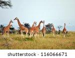 giraffe herd in savannah | Shutterstock . vector #116066671