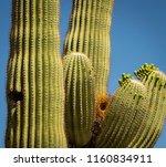 Saguaro Cacti Are Popular Home...