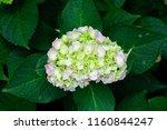 beautiful blue hydrangea or... | Shutterstock . vector #1160844247