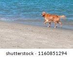 golden retriever on the beach | Shutterstock . vector #1160851294
