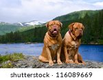 Dogue De Bordeaux Couple...