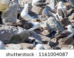 a sea gull is living in... | Shutterstock . vector #1161004087