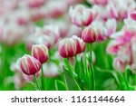 colorful tulip garden background | Shutterstock . vector #1161144664