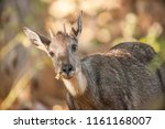 goral  naemorthedus griseus ... | Shutterstock . vector #1161168007
