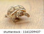 Stock photo close up sulcata tortoise baby spurred tortoise resting in the garden spurred tortoise sunbathe on 1161209437