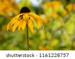 close up photo of single yellow ... | Shutterstock . vector #1161228757