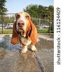 a cute basset hound at a pool - stock photo