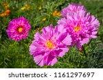 garden cosmos  cosmos... | Shutterstock . vector #1161297697