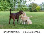 three labradors play in the... | Shutterstock . vector #1161312961