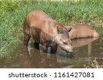 South American Tapir Tapirus...