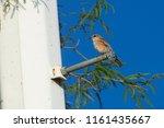 female vermilion flycatcher ... | Shutterstock . vector #1161435667