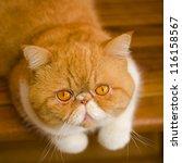 Cat  Exotic Shorthair