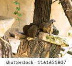 suricates group in zoo