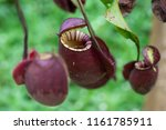 insectivorous plant ... | Shutterstock . vector #1161785911