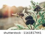 Clusters Fruit Black Elderberr...