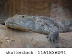 close up of a slender snouted... | Shutterstock . vector #1161836041
