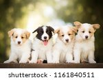 Stock photo adorable portrait of four sweet healthy and happy border collie puppies group litter in the garden 1161840511