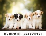 Stock photo adorable portrait of four sweet healthy and happy border collie puppies group litter in the garden 1161840514