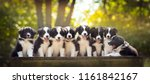 Stock photo adorable portrait of eight sweet healthy and happy border collie puppies litter in the garden 1161842167