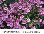 beautiful pink summer flowers... | Shutterstock . vector #1161914017