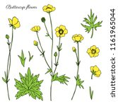 Buttercup Flower Or Crowfoot...