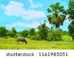 water buffalo standing and... | Shutterstock . vector #1161985051