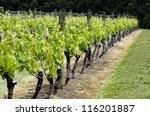 Green Grapes Vineyard...