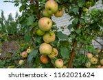 the abundance of ripe apples on ... | Shutterstock . vector #1162021624