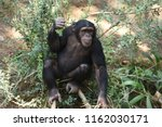 the common chimpanzee  who... | Shutterstock . vector #1162030171