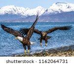 two bald eagles flying on homer ... | Shutterstock . vector #1162064731