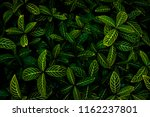 Small photo of Green leaves background. Green leaves color yellow and tone dark in the morning. botany , nature , Photo concept for background and environment