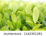 green leave background. | Shutterstock . vector #1162301281
