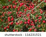 Brilliant Red Berries
