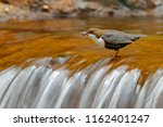 white throated dipper  cinclus... | Shutterstock . vector #1162401247